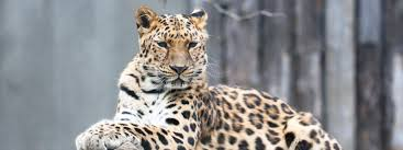 amur leopard species wwf