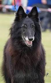 belgian shepherd sydney belgian shepherd dogs at lumineux australia groenendael and