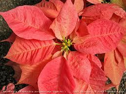 Pointsettia Euphorbia Pulcherrima