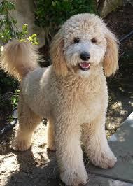 Ginger Doodle River Doodles Home Raised Goldendoodle U0026 Bernedoodle Puppies Of