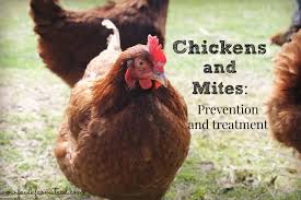 chickens u0026 mites prevention and treatment faulk farmstead