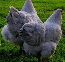 Backyard Chickens Forum by Lakenvelder Chickens Backyard Poultry Forum Light White Egg