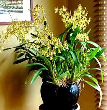 oncidium orchid orchid care oncidium