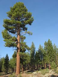 list of california native plants jeffrey pine wikipedia