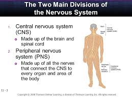 Anatomy And Physiology Nervous System Study Guide Anatomy And Physiology Of The Human Body Ppt Video Online Download