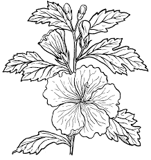 line drawing hibiscus flowers sketch coloring page view larger