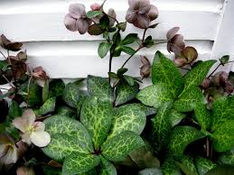 penny s a wonderful new hellebore penny s pink carolyn s shade gardens