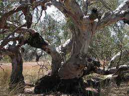 victorian native plants review of the native vegetation clearing regulations engage