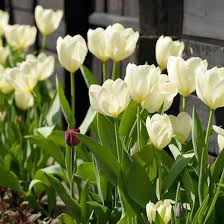 white tulips tulipa maureen single late tulip