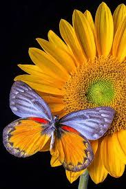sunflowers sunflowers butterfly and