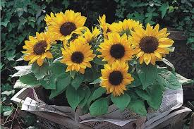 seeds ornamental plants seeds ornamental plants suppliers and