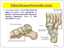 Calcaneus Anatomy Anatomy Of Small Joints Of The Foot
