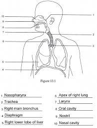 Human Anatomy Worksheet Anatomy Joint Quiz Labelling Human Anatomy Labeling Worksheets