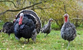 the logistics of turkey day