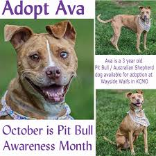 australian shepherd yorkshire terrier mix talking dogs at for love of a dog adopt ava a pitbull
