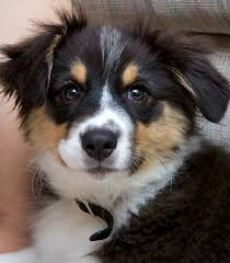 australian shepherd german shepherd best 25 australian shepherd dogs ideas on pinterest do