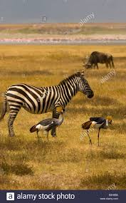 grey crested cranes in front of a zebra and blue wildebeest gnu