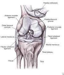 Back Knee Anatomy Soft Tissue Knee Injury Practice Essentials Background