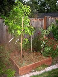 Planting Fruit Trees In Backyard Backyard Orchard Raised Bed Plantings 4 Trees In A 4x4 Box