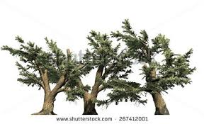 cedar lebanon tree cluster isolated on stock illustration 267412001