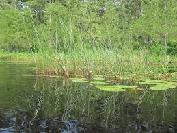 native water plants native plants new jersey the sanguine root