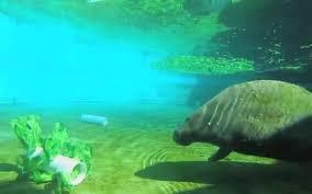 mystic aquarium rescues pregnant manatee in falmouth