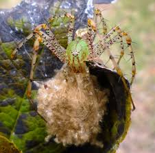 from bluebirds to turtles a green lynx spider and her babies