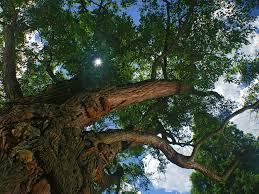 baltimore s big trees