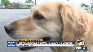 service dog uses training to escape from the groomer youtube