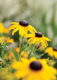 20 best perennial flowers sunset