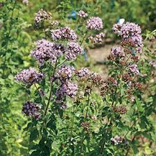 oregano seeds from park seed