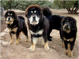 belgian shepherd x mastiff tibetan mastiff fun animals wiki videos pictures stories