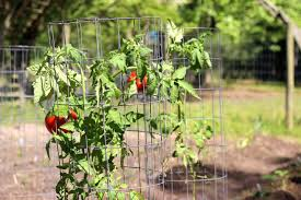 how to use tomato cages hgtv