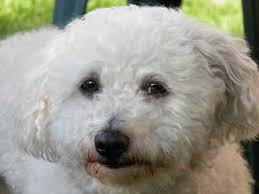 havanese vs bichon frise bolognese small breed dogs