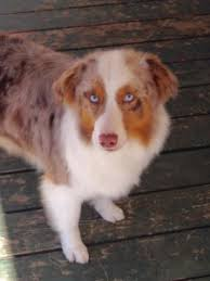 3 winds ranch australian shepherd australian shepherd dog breeders