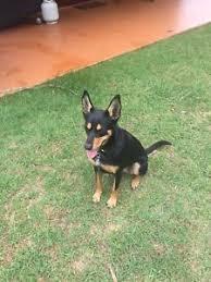 accounting resume exles australian kelpie lab kelpie in toowoomba region qld dogs puppies gumtree