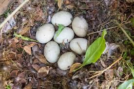 duck nest and eggs naturetastic blog