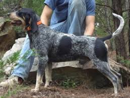 bluetick coonhound owners ray u0027s blue boomer