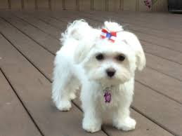 maltese dog breed profile it s a dogs life pinterest