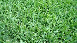 austin native plants how to identify austin grass types