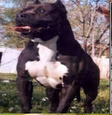 american pitbull terrier gotti razors edge razors edge bloodline and history razor u0027s edge pitbulls kennel