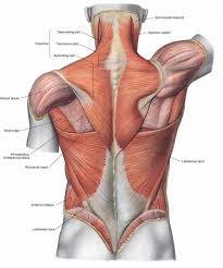 Anatomy And Physiology The Muscular System Anatomy Superficial Muscles Of The Back Anatomy Of The Human