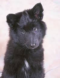 belgian sheepdog puppies for sale uk belgian sheepdog dog breed information belgian shepherd puppies