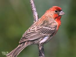 red house finch song bird singing youtube
