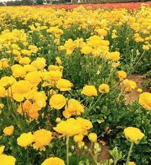 the best time to visit the flower fields in carlsbad socal field