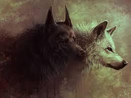 belgian shepherd wallpaper dark and white wolves