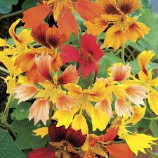 nasturtium flower nasturtium seeds