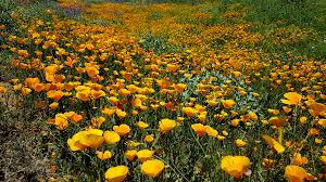 anza borrego super bloom alternatives anza borrego