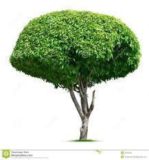 ornamental tree stock image image of ornamental 30028529