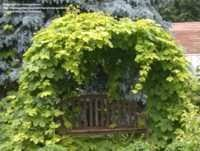 hops are not just for they make great ornamentals in the